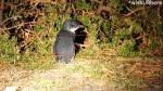 Penguins Bicheno