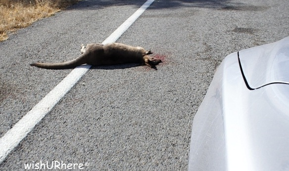 Kangaroo knocked by vehicle