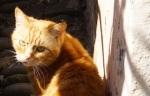 Clovelly Cat
